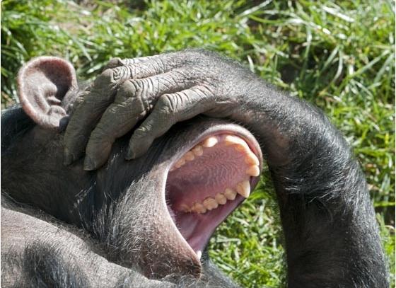 bostezar_chimpance_resulta