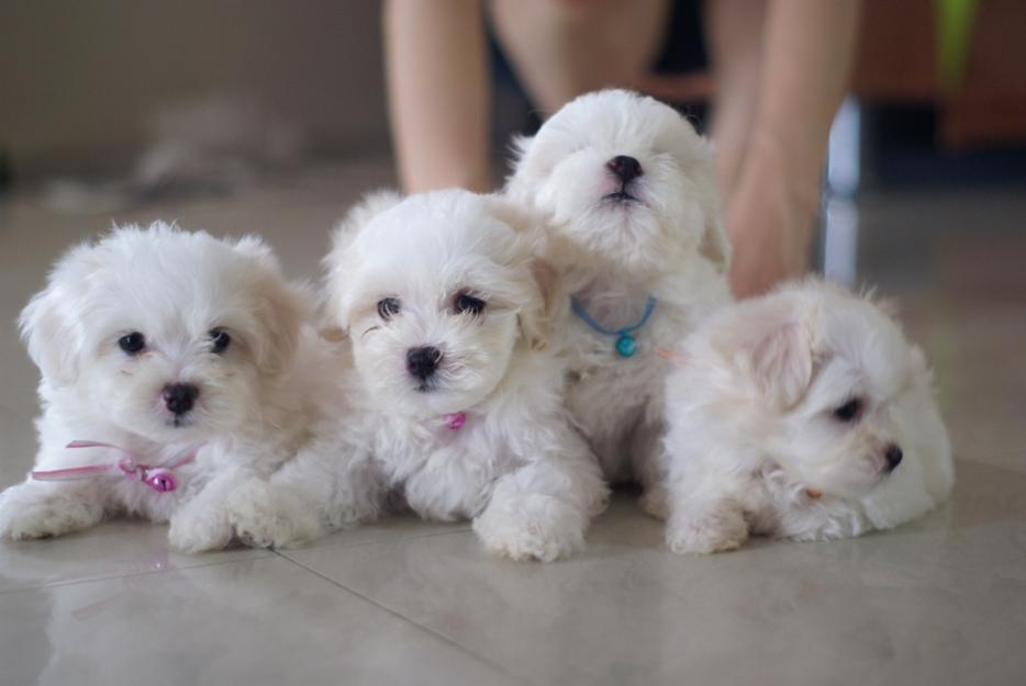 cachorros-bichon-maltes